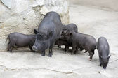 Pot-bellied pigs — Stock Photo