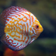 Discus Red Spotted Golden — Stock Photo #53887779