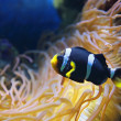 Amphiprion polymnus fish — Stock Photo #62688279