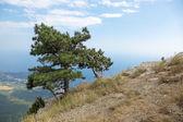 Lone pine on top of mount Ai-Petri — Stock Photo