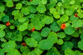 Nasturtium flowers — Stock Photo