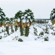 Brussels sprouts in snow — Stock Photo #61341779