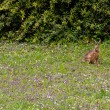 Wild hare in green grass — Stock Photo #71903423