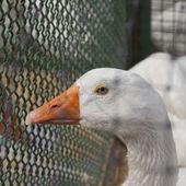 Blue eyed duck — Stock Photo