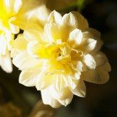 Yellow chrysantemum — Stock Photo