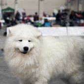Maremman sheepdog — Stock Photo