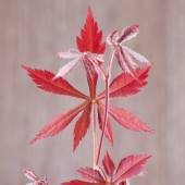 Acer palmatum leaf — Stock Photo