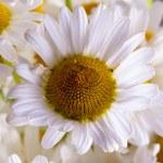Daisy — Stock Photo #72690101