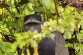 Mono terciopelo — Foto de Stock