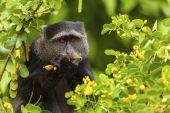 Velvet Monkey — Stock Photo