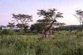 Grazing Giraffe — Stock Photo