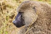 Profile Of A Monkey — Stock Photo