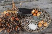 Dug tulip bulbs and garden shove — Stock Photo