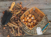 Sort dug tulip bulbs in size and sort — Stockfoto