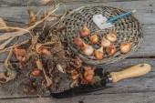 Sort dug tulip bulbs — Stockfoto