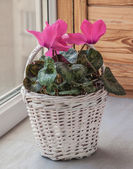 Pink cyclamen flowers — Stock Photo