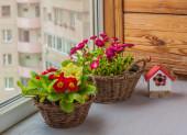 Primrose and daisies — Foto de Stock