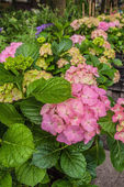 Roze hortensia 's — Stockfoto