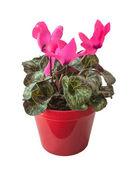 Ciclaminos rosa — Foto de Stock