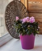 Blossoming pink azaleas — Stock Photo