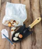 Bulbs and garden shovel — Stock Photo