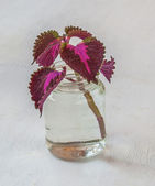 Entrenched graft Coleus — Stock Photo