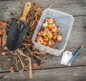 Tulpen zwiebeln ausgegraben — Stockfoto