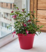 Fuktsia in red pot — Stock Photo
