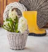 White hyacinths in white basket and yellow  rubber boots — Stockfoto