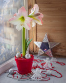 Pink hippeastrum on the window with frosty patterns — Stock Photo
