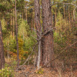Wild birch grove — Stock Photo #61446893