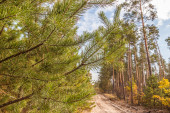 Young pine trees near a country road — Stock Photo