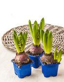 Fresh hyacinths in pots — Stock Photo