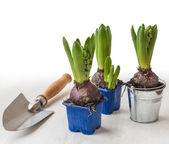 Three potted hyacinths — Stock Photo