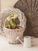 Daffodils in a basket and watering can — Stock Photo