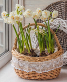 White daffodils in basket — Stock Photo
