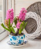 Beautiful pink hyacinths — Stock Photo