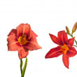 Blossoming flowers of daylily — Stock Photo #72537005