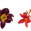 Set of 5 blossoming flowers daylily — Stock Photo #74661579