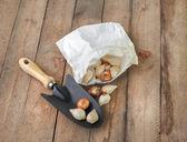 Tulip bulbs in paper bag — Stockfoto