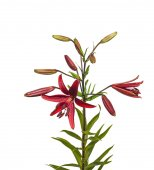 Branch of lilies with buds — Stock Photo