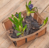 Hyacinth flower  bulbs — Stock Photo