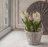 Hyacinths in white basket — Stock Photo