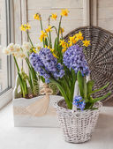 White and yellow daffodils and hyacinth — Stock Photo
