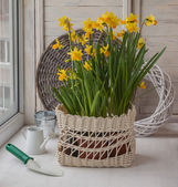 Daffodils in a white basket — Stock Photo