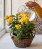 Watering large-yellow chrysanthemum in pot — Stock Photo