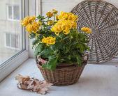 Yellow chrysanthemum grandiflora bush — Stock Photo