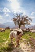Dogs guard the sheep on the mountain pasture — Stock Photo
