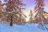 Winter forest in Alps near Vogel sky center in Slovenia — Stock Photo