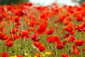 Poppies field meadow — Foto Stock